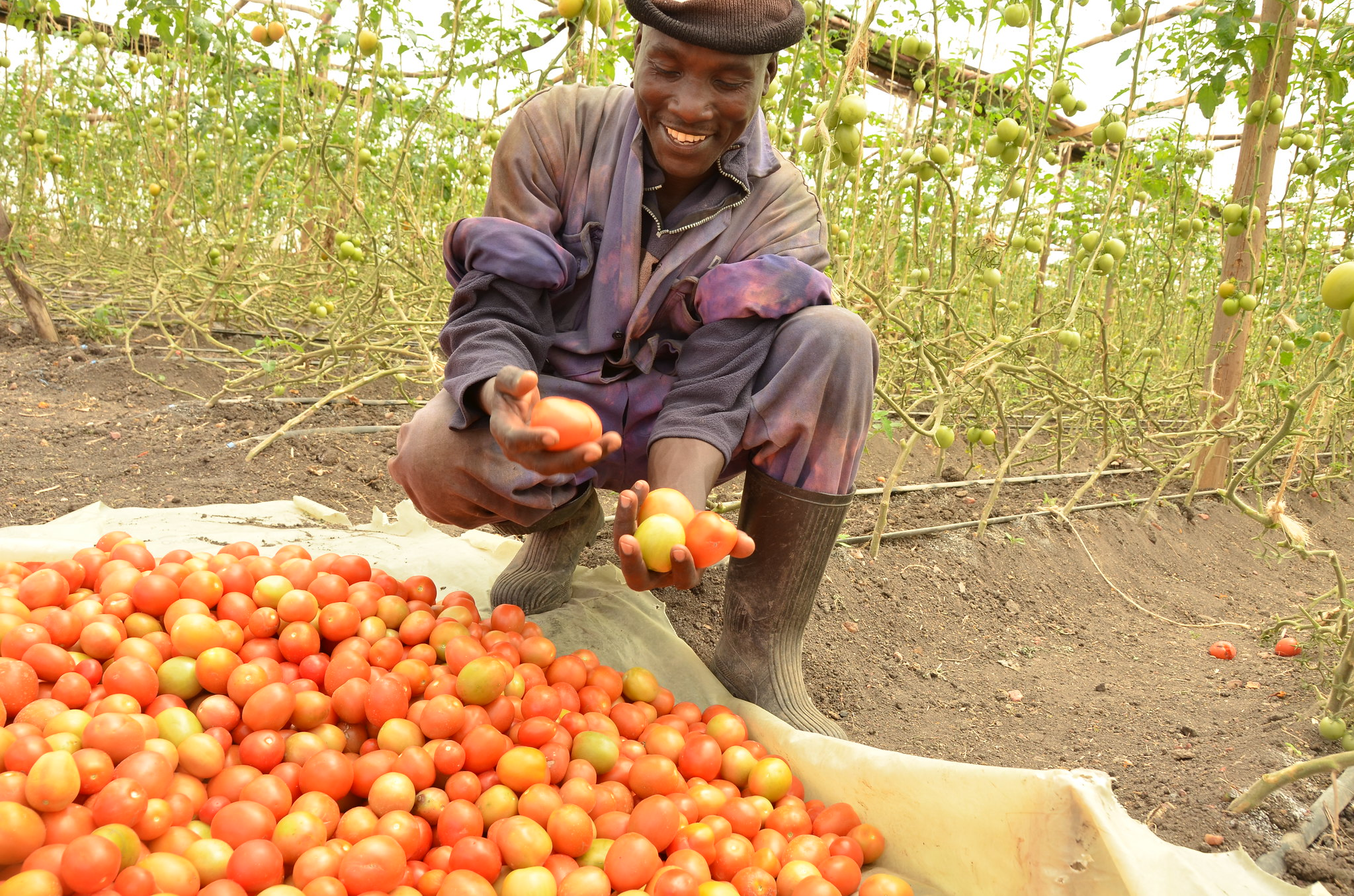 African farmer holding tomatoes